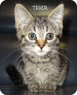 Domestic Shorthair Kitten for adoption in Lapeer, Michigan - TIGER--CUTE BABY KITTEN!