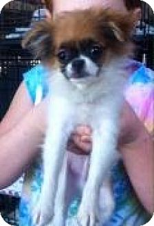 Japanese Chin/Pomeranian Mix Puppy for adoption in Mount Pleasant, South Carolina - Beethoven