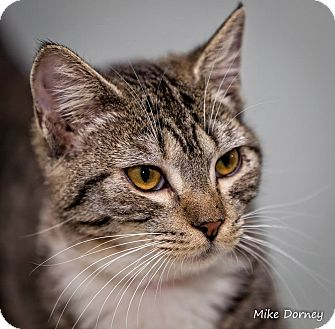Domestic Shorthair Cat for adoption in Westminster, California - O'Hara
