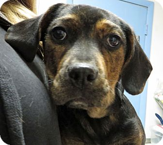 Shepherd (Unknown Type) Mix Puppy for adoption in Middletown, New York - Ellie May