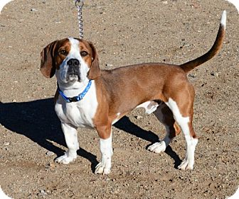 Basset Hound Mix Dog for adoption in Bridgeport, California - Skippy