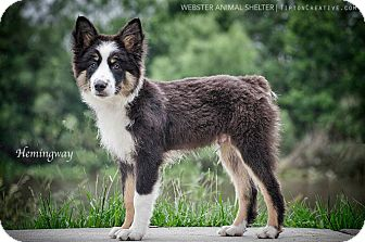 Australian Shepherd Puppy for adoption in Webster, Texas - Hemingway