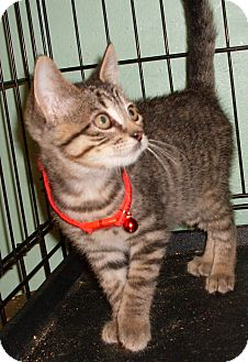 Domestic Shorthair Kitten for adoption in Buhl, Idaho - Finley