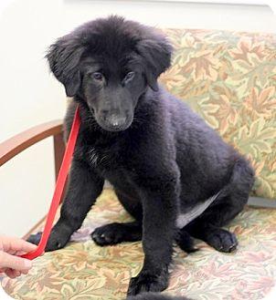 Labrador Retriever Mix Puppy for adoption in Concord, North Carolina - Rex