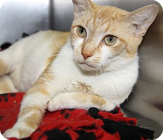 Domestic Shorthair Cat for adoption in Marietta, Ohio - Stephanie (Combo Tested/Spayed