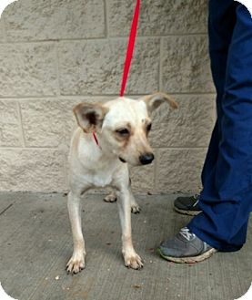 Terrier (Unknown Type, Medium)/Chihuahua Mix Dog for adoption in Oviedo, Florida - Lucky