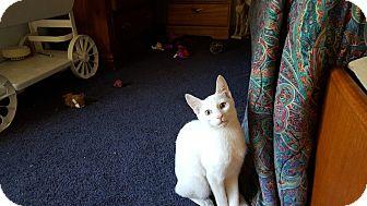 Siamese Cat for adoption in Stockton, Missouri - Marty