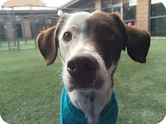 English Pointer Dog for adoption in Meridian, Idaho - Zoey