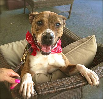 Boxer/American Staffordshire Terrier Mix Dog for adoption in Burbank, California - Handsome Reilly-VIDEO