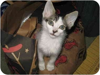American Shorthair Kitten for adoption in San Diego, California - Conrad and his Sister