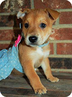 Shepherd (Unknown Type)/Terrier (Unknown Type, Medium) Mix Puppy for adoption in Minot, North Dakota - Nina