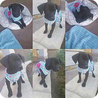 American Bulldog/Labrador Retriever Mix Puppy for adoption in Phoenix, Arizona - Buffy