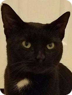 Domestic Shorthair Cat for adoption in Cincinnati, Ohio - Jet
