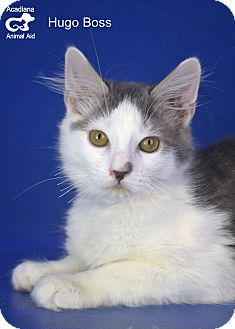 Domestic Mediumhair Cat for adoption in Carencro, Louisiana - Hugo Boss