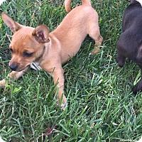 Adopt A Pet :: Almond RBF - Harrisonburg, VA