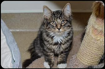 Domestic Mediumhair Kitten for adoption in Brick, New Jersey - Othello