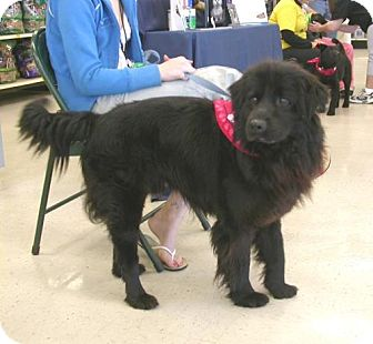 Newfoundland/Chow Chow Mix Dog for adoption in Cantonment, Florida - Minor
