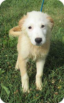 Australian Shepherd Mix Puppy for adoption in Reeds Spring, Missouri - Monty
