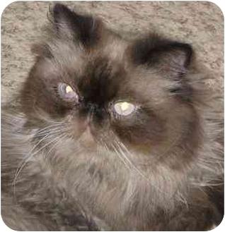 Himalayan Cat for adoption in Davis, California - Drummer Boy
