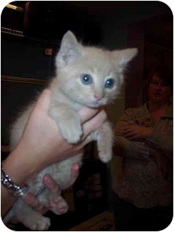 Domestic Shorthair Kitten for adoption in Medina, Ohio - Ronnie