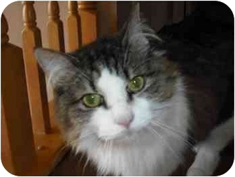 Domestic Longhair Cat for adoption in Gaithersburg, Maryland - Shayna