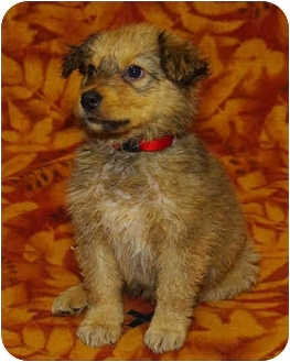 Shepherd (Unknown Type) Mix Puppy for adoption in Westminster, Colorado - Pear
