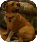 Welsh Corgi/German Shepherd Dog Mix Dog for adoption in Lomita, California - Lucky