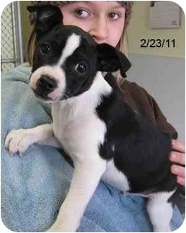 Jack Russell Terrier/Boston Terrier Mix Puppy for adoption in Republic, Washington - Snowflake
