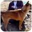 Photo 1 - Shepherd (Unknown Type)/Belgian Malinois Mix Dog for adoption in Haverhill, Massachusetts - Sakari