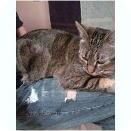 Domestic Shorthair Cat for adoption in Naperville, Illinois - Ellie-$50.00 Promo