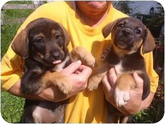German Shepherd Dog/Labrador Retriever Mix Puppy for adoption in Bel Air, Maryland - Baby
