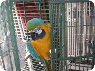 Macaw for adoption in Neenah, Wisconsin - Jasper