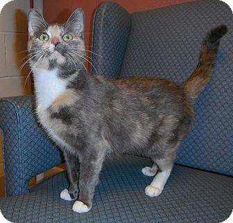 Calico Cat for adoption in Jackson, Michigan - Simone