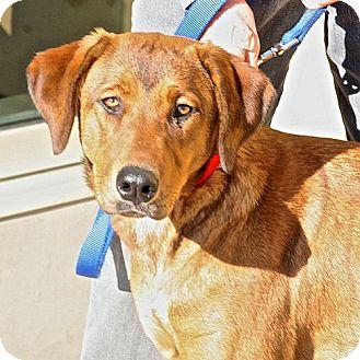 Rhodesian Ridgeback/Labrador Retriever Mix Dog for adoption in Berkeley, California - Honey