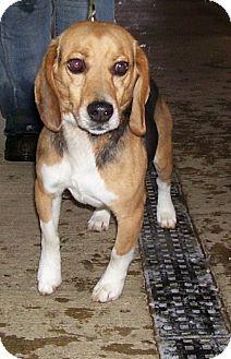 Beagle Mix Dog for adoption in Somerset, Pennsylvania - Duke