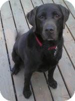 Labrador Retriever Dog for adoption in Torrance, California - Jack Brown