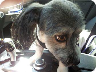 Havanese/Lhasa Apso Mix Dog for adoption in Los Angeles, California - Benji