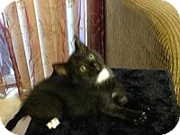 Domestic Shorthair Kitten for adoption in Tampa, Florida - Minnie