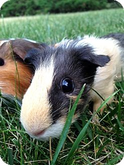 Guinea Pig for adoption in Chicago, Illinois - ANNIE