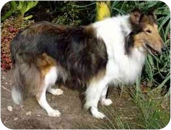 Collie Dog for adoption in Gardena, California - Dasher