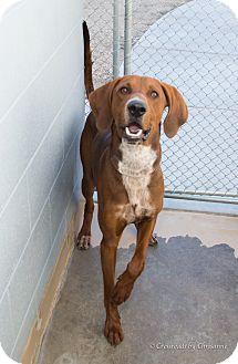 Hound (Unknown Type)/Bluetick Coonhound Mix Dog for adoption in Sierra Vista, Arizona - Red