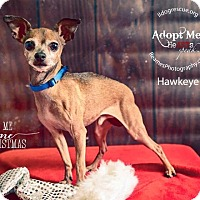 Adopt A Pet :: Hawkeye - Shawnee Mission, KS