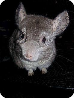 Chinchilla for adoption in Lindenhurst, New York - Dory