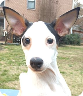 Rat Terrier/Jack Russell Terrier Mix Puppy for adoption in Carlisle, Pennsylvania - Romeo