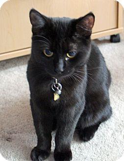 Domestic Shorthair Kitten for adoption in Toronto, Ontario - Bingley