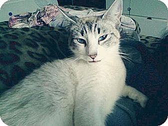 Siamese Cat for adoption in Cerritos, California - Alice