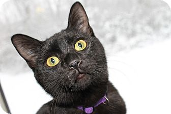 Domestic Shorthair Kitten for adoption in Huntsville, Alabama - Jasper