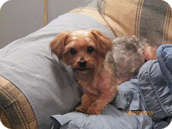Yorkie, Yorkshire Terrier/Poodle (Miniature) Mix Dog for adoption in Mary Esther, Florida - Maggie Mae