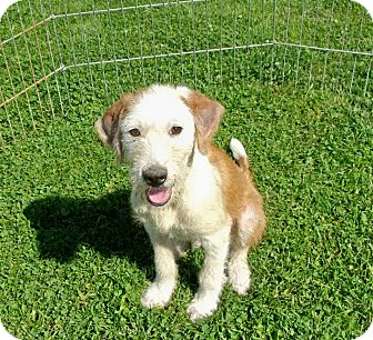 Terrier (Unknown Type, Medium) Mix Puppy for adoption in Liberty Center, Ohio - Scamp