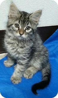 Maine Coon Kitten for adoption in Pluckemin, New Jersey - Colin